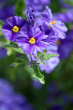 Solanum rantonnetii (Species: Lycianthes rantonnetii),  flowerin Royalty Free Stock Photos