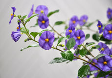 Solanum Rantonnetti Stock Photography