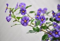 Solanum Rantonnetti Fotografia de Stock
