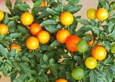 Solanum roślina Zdjęcia Royalty Free