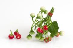 Solanum sanitwongsei Craib (Solanum trilobatum L.) Royalty Free Stock Photos