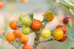 Solanum sanitwongsei Stock Photo