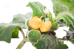 Solanum sanitwongsei, Herb for treatment cough. And sore throat Stock Image