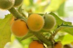 Solanum stramonifolium. Hanging on tree Royalty Free Stock Image
