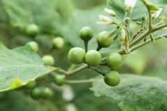 Solanum Torvum Fotografia Stock