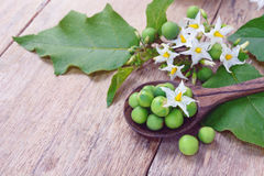 Solanum torvum with flower bunch Stock Photo