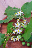 Solanum torvum with flower bunch Stock Photography