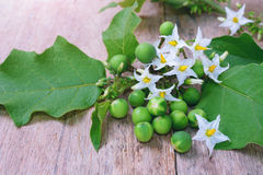 Solanum torvum with flower bunch Stock Images