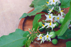 Solanum torvum with flower bunch Royalty Free Stock Photo