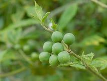 Solanum Torvum. Green Solanum Torvum  in the farm Royalty Free Stock Photo