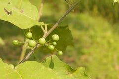 Solanum torvum Sw Στοκ φωτογραφίες με δικαίωμα ελεύθερης χρήσης