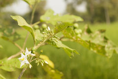 Solanum torvum Sw Obraz Stock