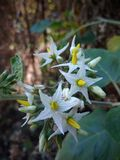 Solanum torvum swartz flowers on mountain stock photography