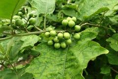 Solanum torvum Stock Image