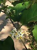 Solanum torvum or Turkey berry or Shoo-shoo bush or Wild eggplant or Pea eggplant or Pea aubergine flower. Solanum torvum or Turkey berry or Prickly nightshade stock image