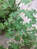 Solanum trilobatum Stock Photography