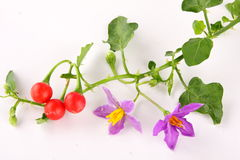 Solanum trilobatum  with fruits,. Purple wildflowers. (Herb-Solanum trilobatum ) with fruits Stock Images