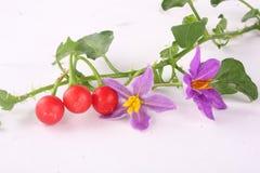 Solanum trilobatum  . Purple wildflowers. (Herb-Solanum trilobatum ) with fruits Stock Image