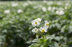 Solanum tuberosum in bloom, potatoes blooming plant. Blooming useful plant Royalty Free Stock Images