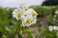 Solanum tuberosum in bloom, potatoes blooming plant. Blossoming useful plant Royalty Free Stock Photos