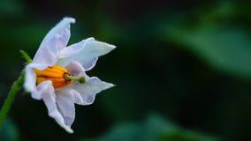 Solanum tuberosum stock video footage