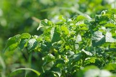 Solanum tuberosum - potato field Stock Image