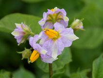 Solanum tuberosum potato plant flower. Purple flowers on a potato Solanum tuberosum plant in a field Royalty Free Stock Photos