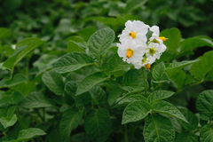 Solanum tuberosum - potatoes flowers. Solanum tuberosum - white potatoes flowers on green leaves background Stock Photography