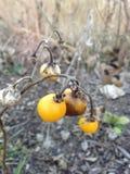 SolanumCarolinense växt med frukt i nedgången arkivbilder