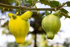 Solanummammosumväxt stock illustrationer