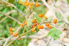 Solanumtrilobatum Arkivbilder