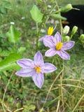 Solanumtrilobatumblomma i naturträdgård Royaltyfria Bilder