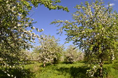 Solar apple flowers. Flowering apple tree on a warm spring day royalty free stock images