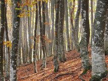 Solar autumn morning in wood. Solar autumn morning in beeches wood Stock Images