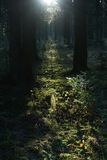 Solar beam in morning forest Stock Photos
