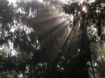 Solar beams. Foggy morning in a wood Royalty Free Stock Photo