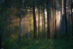 Solar beams through trees Royalty Free Stock Photo
