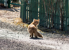 Solar cat. Curious red cat turns around to see who takes it Stock Photography