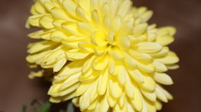 Solar chrysanthemum royalty free stock photo