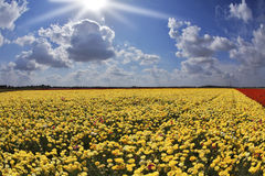 Solar day in fields buttercups Stock Images
