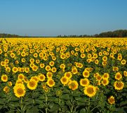 The solar field. A field of bright yellow sunflowers stretches to the horizon. Not against the blue sky they look like lots of little suns Stock Photography