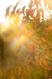 Solar flare. On the background of autumn leaves royalty free stock photography