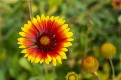 Solar flower Helianthus grows in garden Stock Image