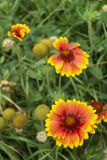 Solar flower Helianthus grows in garden Stock Photos