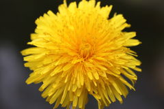 Solar flower. Yellow-orange flower of a dandelion on a dark background. A drop of joy in the beautiful ocean life. The sun in miniature Stock Images