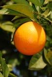 Solar orange. Single orange on a background of green leaves close up Royalty Free Stock Photography