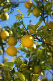 Solar oranges. Bright oranges under the sun Stock Photography