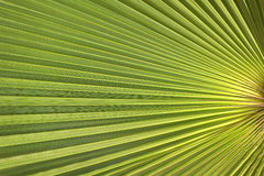 Solar palm. Background - texture - palm leaf in the sun royalty free stock images