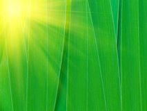 Solar patch of light on gladiolus leaves Stock Photography