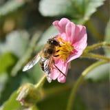 Honey bee on pink strawberry flowers stock image